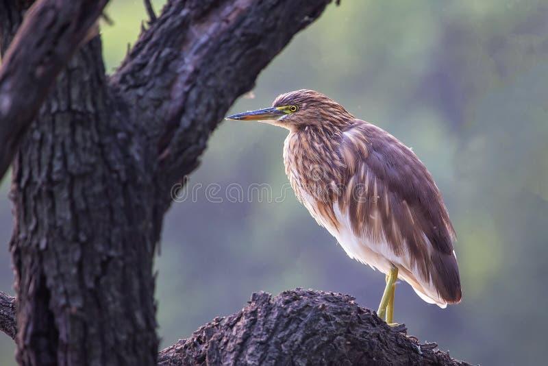 黑被加冠的夜鹭属坐在Keoladeo加纳Na的一棵树 库存图片