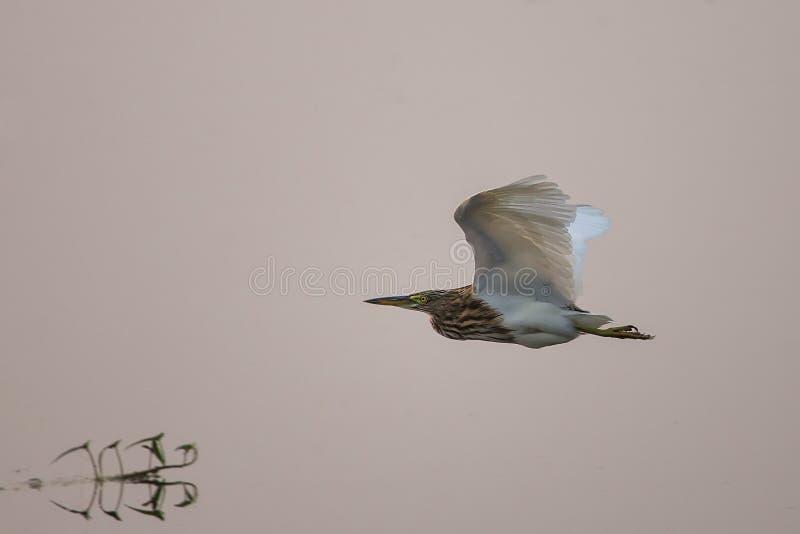 黑被加冠的夜鹭属飞行在Keoladeo加纳国家公园 免版税库存照片
