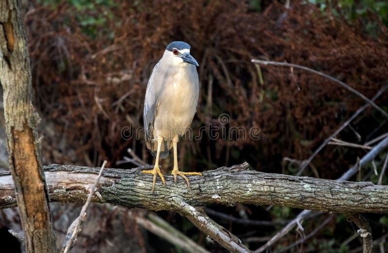 黑被加冠的夜鹭属鸟,Pickney海岛全国野生生物保护区 库存照片