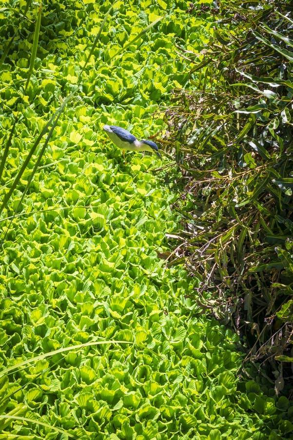 黑被加冠的夜鹭属,塞舌尔群岛 免版税库存图片