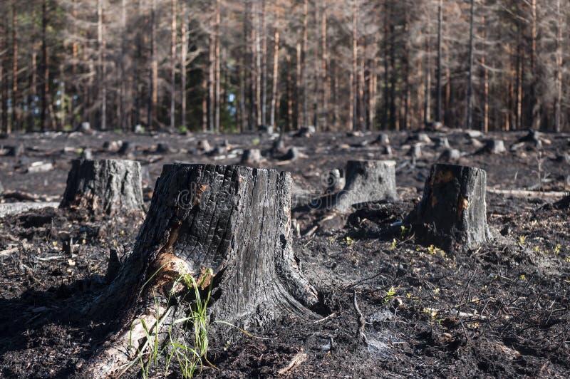 黑被烧的树桩特写镜头在阳光下在森林火灾以后在沼地 免版税图库摄影