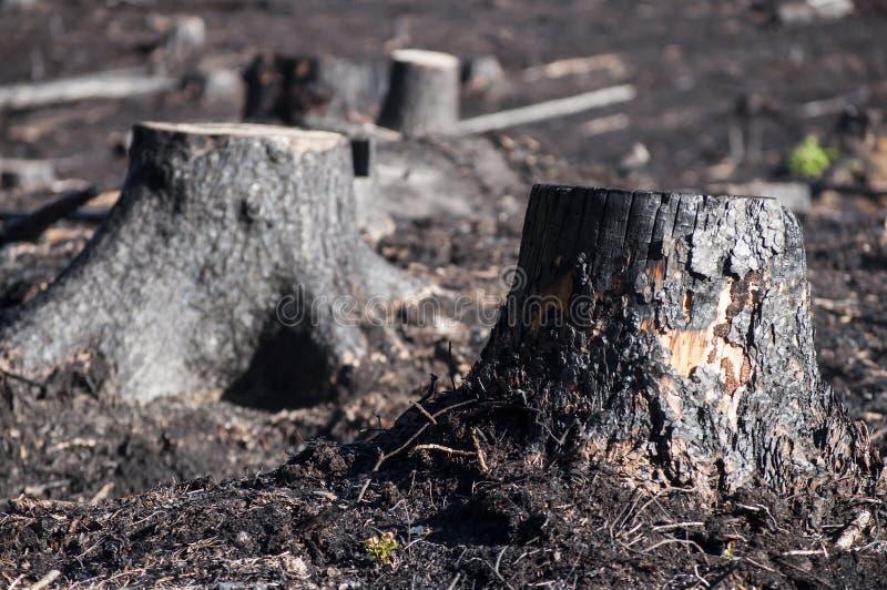 黑被烧的树桩特写镜头在阳光下在森林火灾以后 库存图片