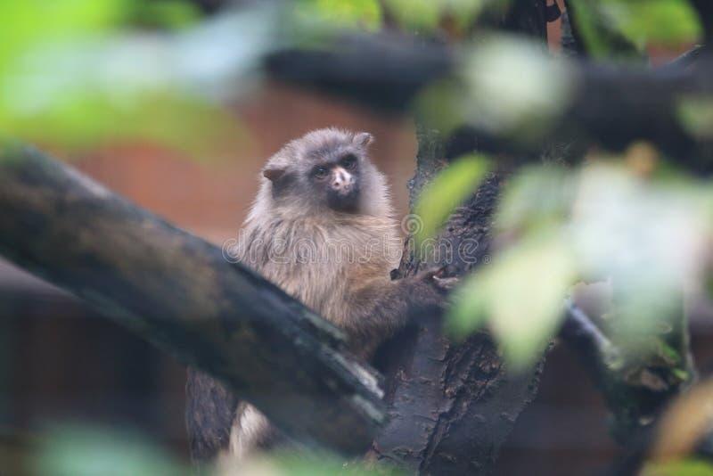 黑被盯梢的小猿 库存图片