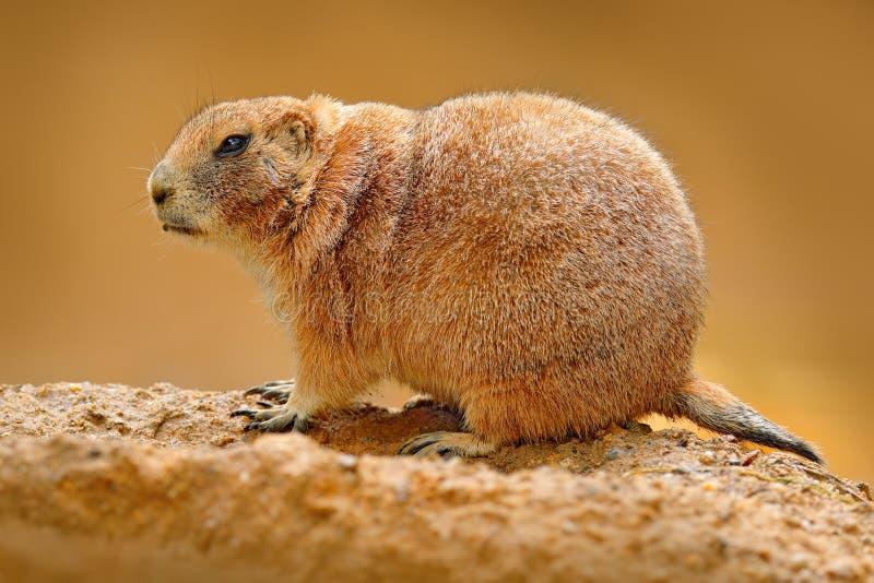 黑被盯梢的草原土拨鼠,草原犬鼠ludovicianus,从家庭松鼠科动物啮齿目动物的逗人喜爱的动物在Great Plains,北美发现了 免版税库存图片