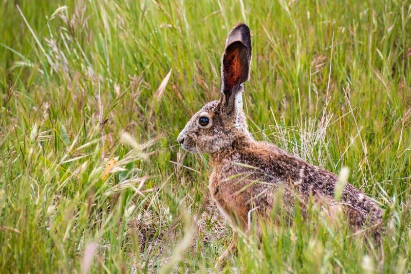 黑被盯梢的长耳大野兔天兔座californicus 库存图片