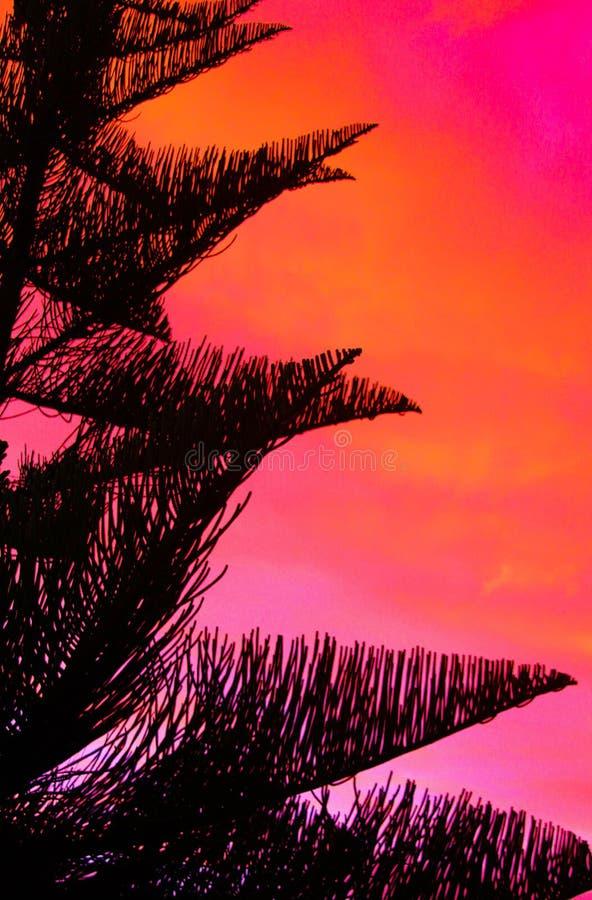 黑诺福克松树南洋杉heterophylla冠剪影与桃红色和红色灼烧的天空形成对比在日落期间 免版税图库摄影