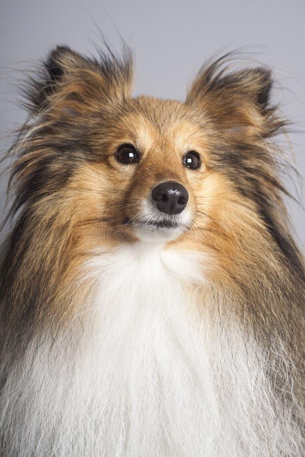 黑貂设德蓝群岛牧羊犬画象 免版税库存照片