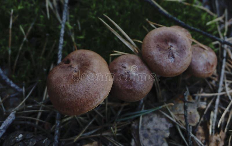 黑貂`的四个蘑菇检查 免版税库存图片