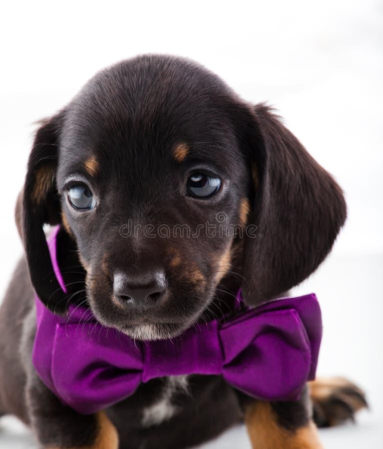 黑达克斯猎犬小狗绅士演播室质量 免版税库存图片