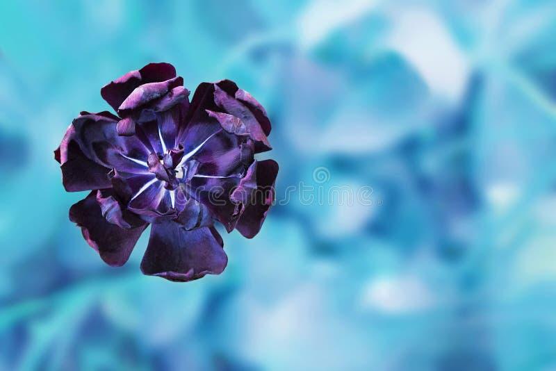 黑郁金香美好的唯一头状花序在明亮的蓝色绿松石背景的 免版税库存图片
