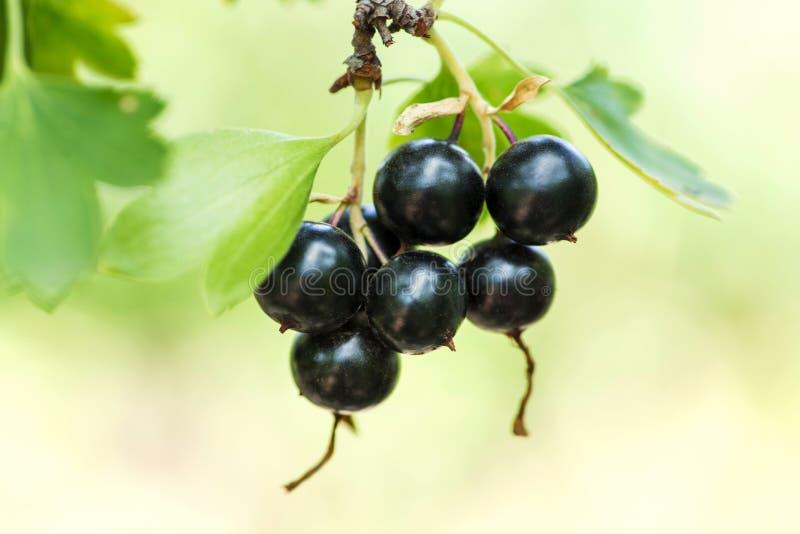 黑醋栗分支在庭院里 在灌木特写镜头的黑醋栗莓果 库存照片