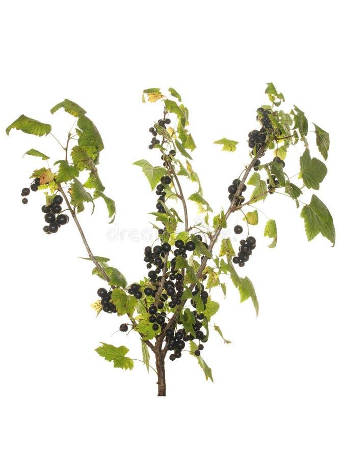 黑醋栗分支用在白色背景和叶子隔绝的莓果 库存图片