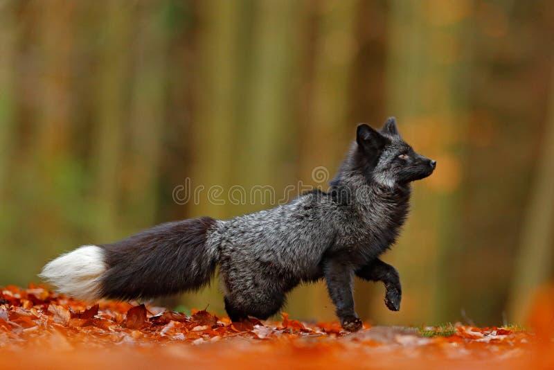 黑银狐,罕见的形式 使用在秋天森林里的深红狐狸动物在秋天木头跳 从狂放的自然的野生生物场面 乐趣 免版税库存照片