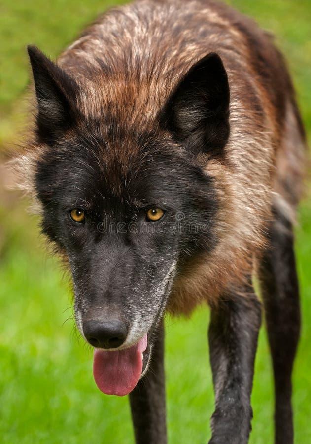黑阶段灰狼天狼犬座今后偷偷靠近 免版税库存图片