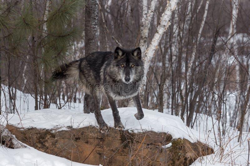 黑阶段灰狼天狼犬座开始跳跃岩石 库存图片