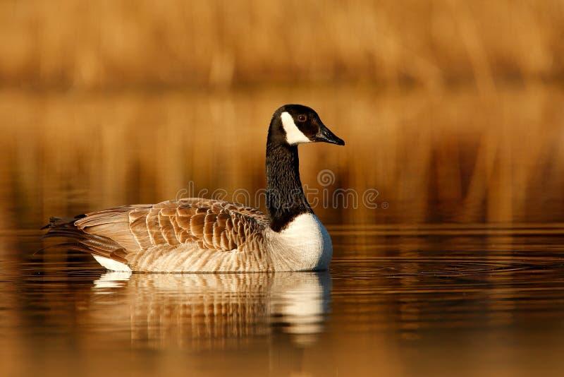 黑雁,黑雁leucopsis,黑白在水表面,动物在自然湖草栖所,瑞典 早晨s 库存图片