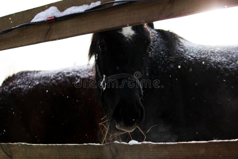黑颜色幼小公马与白色星号的在他的前额在街道上的封入物露天站立,在止步不前 免版税库存图片