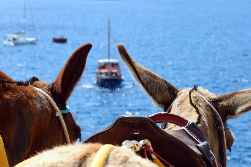 黑马耳朵,在圣托里尼海岛上的传统运输  库存照片