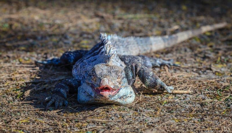 黑鬣鳞蜥在哥斯达黎加 库存照片