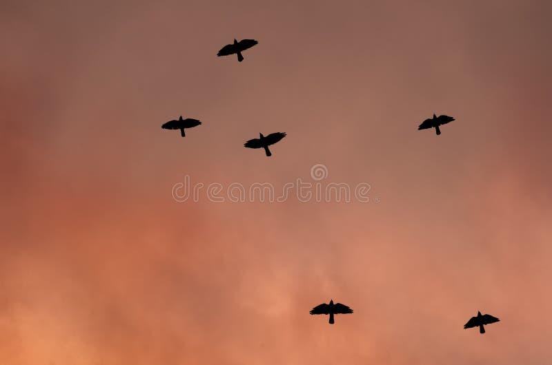 黑鸟剪影-在被定调子的天空的背景的一只乌鸦 战争的概念 免版税库存图片