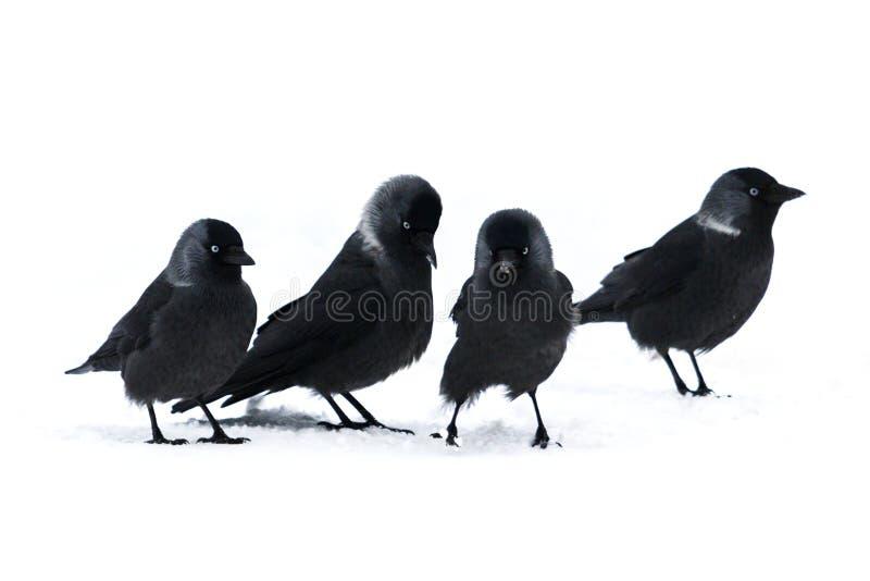 黑鸟西部寒鸦去白雪 库存图片