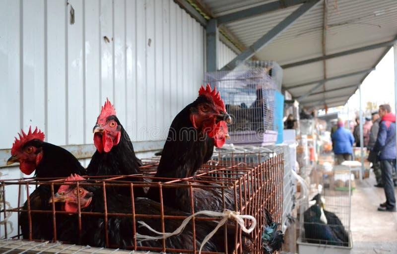 黑鸡被卖在宠物市场上 库存照片