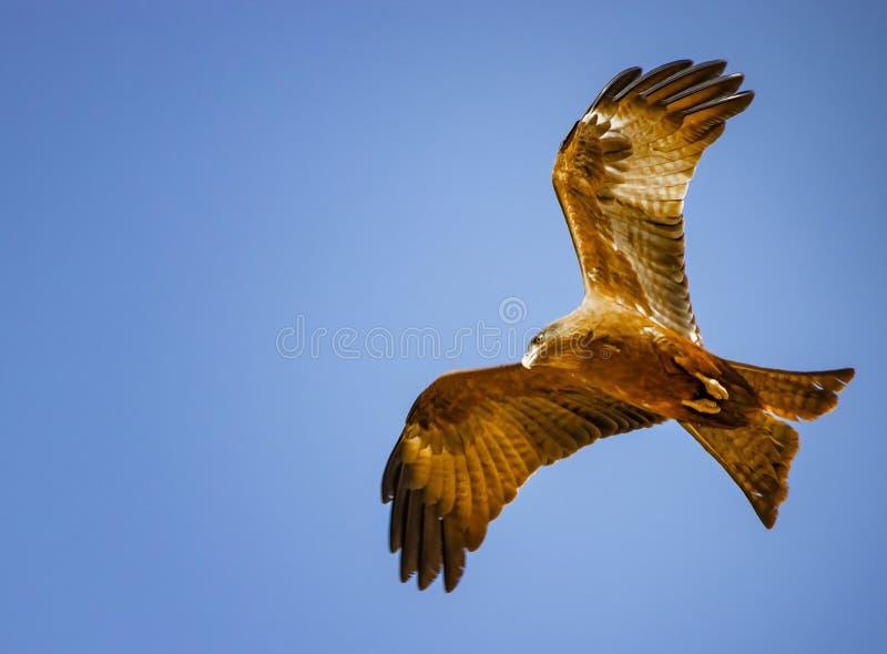 黑鸢,Milvus migrans在飞行中在塞内加尔,非洲 大老鹰接近的照片  这是野生生物照片 有天空蔚蓝 免版税库存照片