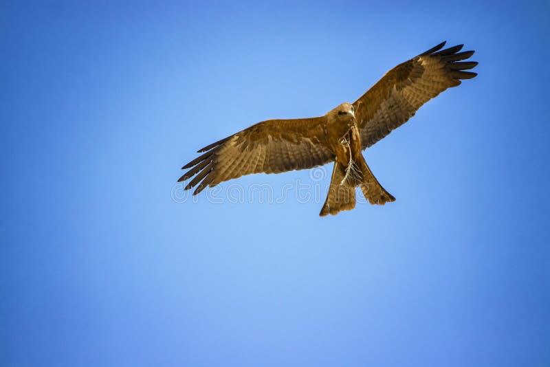 黑鸢,Milvus migrans在飞行中在塞内加尔,非洲 大老鹰接近的照片  他运载在这是野生生物的他的爪的一根枝杈 免版税图库摄影