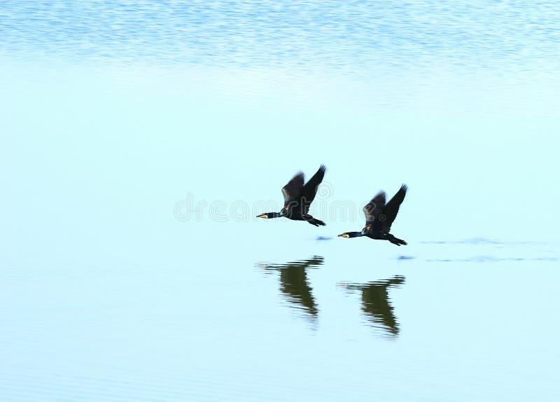 黑鸭二 库存图片