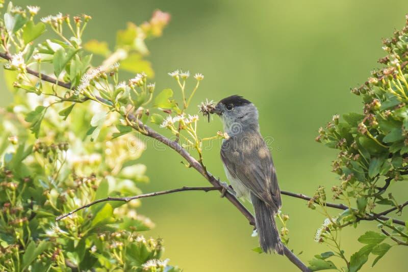 黑鹂唱歌在树的画眉类merula 库存图片
