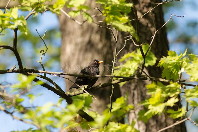 黑鹂在春天 免版税库存照片