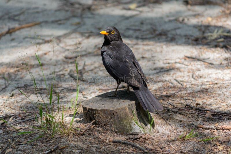 黑鹂坐一个树桩在公园 免版税库存图片