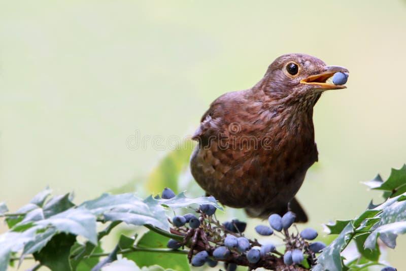 黑鹂母鸟观察吃莓果 被栖息和吃在庭院的黑棕色黑鹂歌手莓果 免版税库存照片