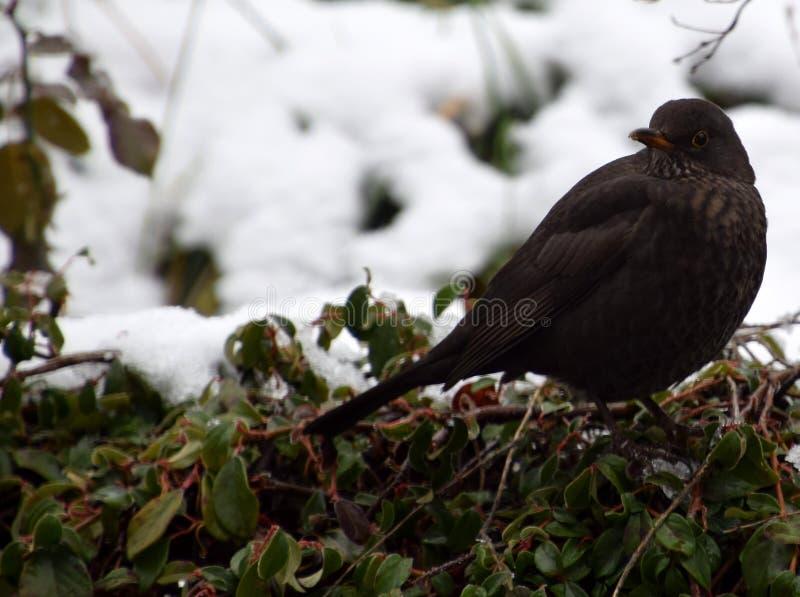 黑鹂画象在多雪的灌木的冬天 库存照片