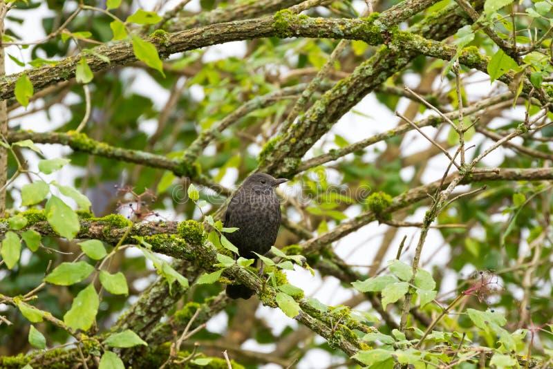 黑鹂,共同的黑鹂,与鳞状乳房的鹅口疮栖息o的 库存照片