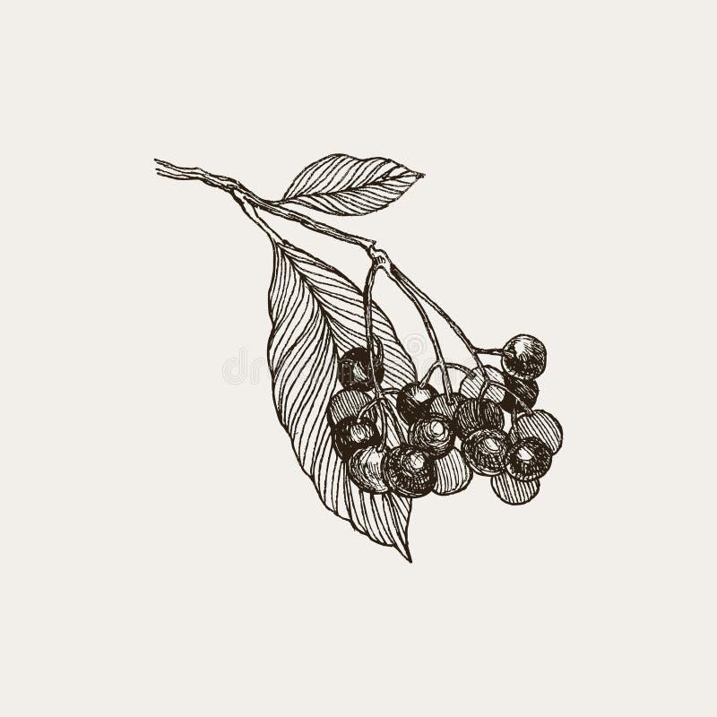 黑鹂 荆棘莓果和叶子的葡萄酒手拉的例证 导航被隔绝的花卉图表元素  库存例证
