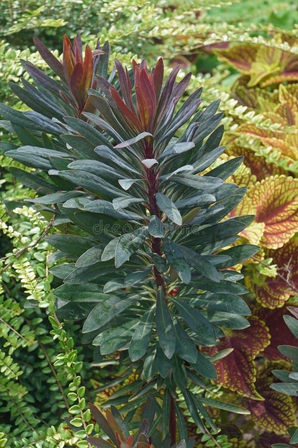 黑鹂spurge植物 库存图片