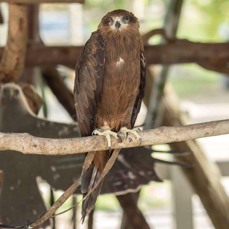 黑鹰鸟 免版税图库摄影