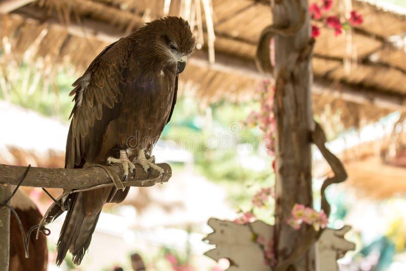黑鹰鸟 免版税库存照片