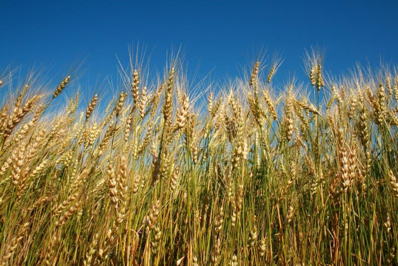 黑麦峰值 库存图片