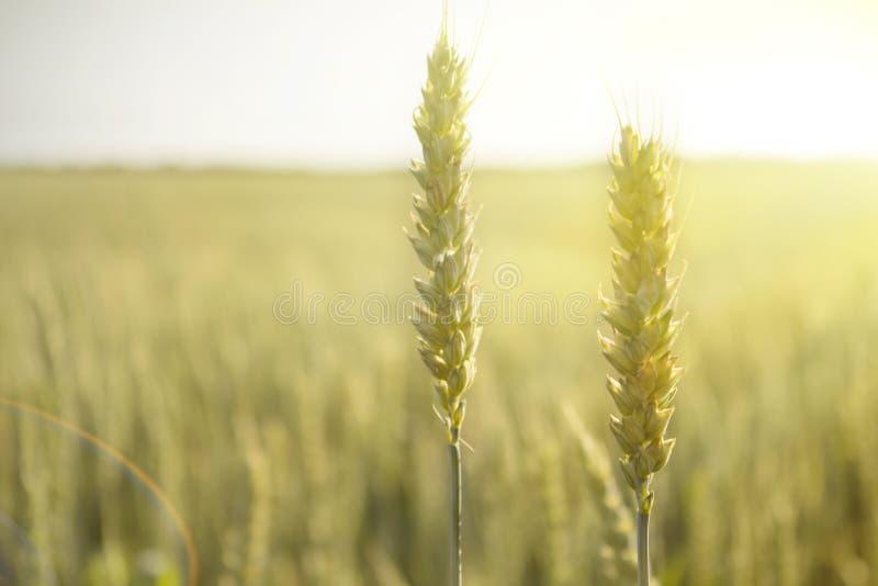 黑麦庄稼在一个领域的在日落 免版税图库摄影