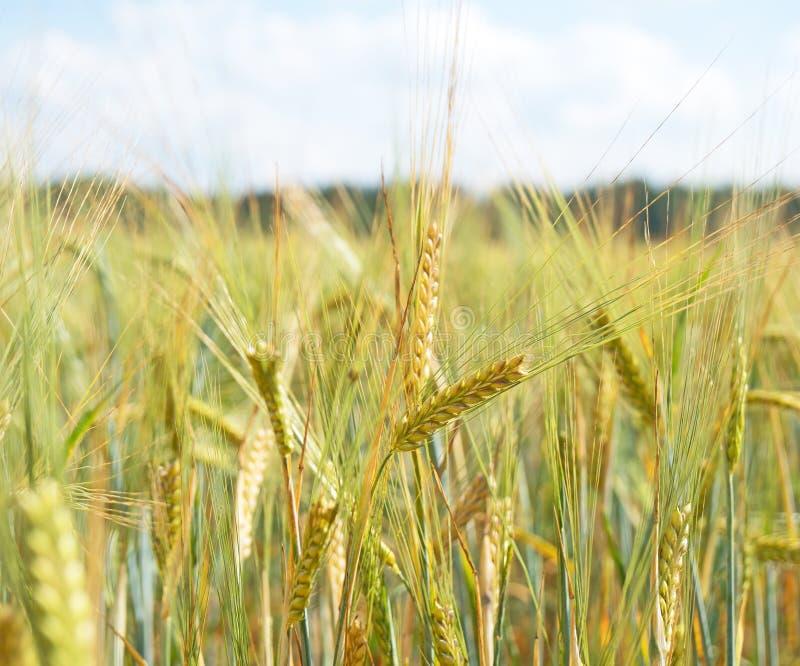 黑麦的域 库存照片