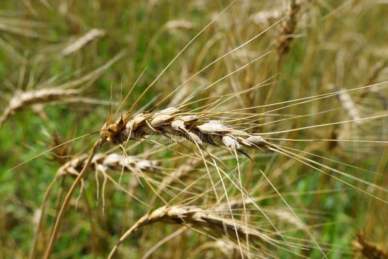 黑麦的成熟耳朵在领域的 库存图片