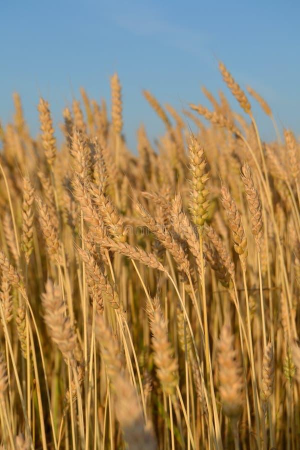 黑麦的许多黄色耳朵在领域的 库存照片