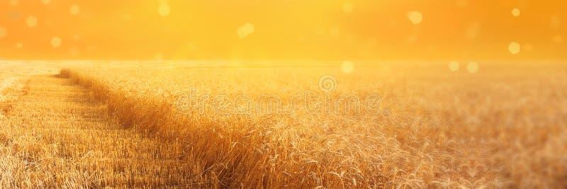 黑麦的领域看法与二面对切的stripbeveled小条的在收获在日落期间 夏天农业农村背景 全景 免版税图库摄影