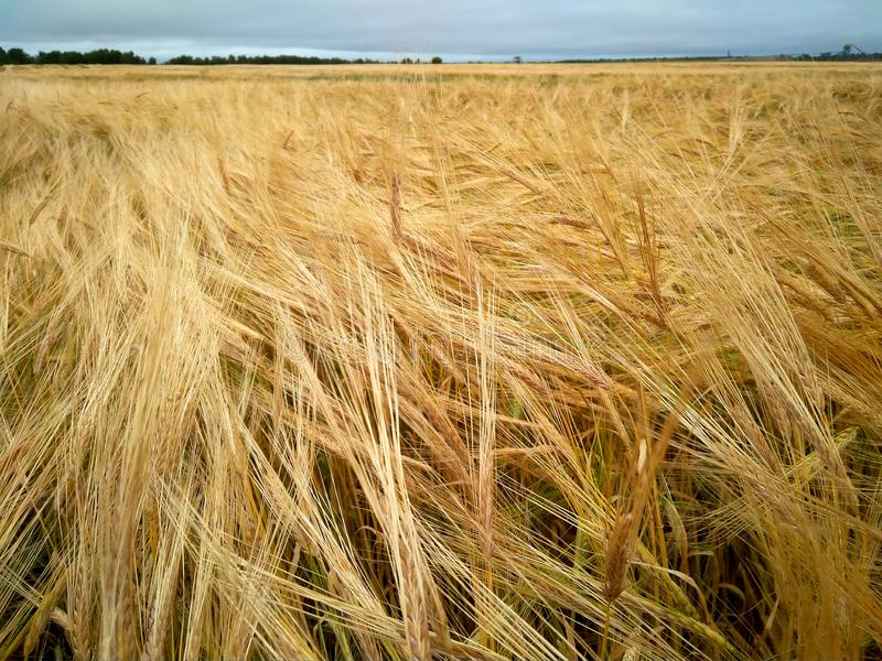 黑麦面包黑麦面粉领域农业农艺师种植业农业谷物小尖峰金领域耳朵庄稼野外工作 免版税库存图片