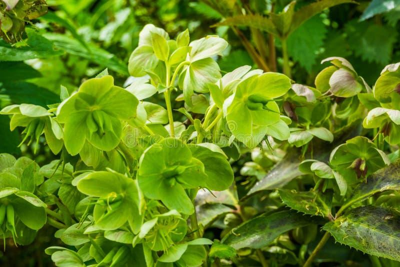 黑黎芦植物,从欧亚大陆的常绿植物,庭院的普遍的耕种的装饰花特写镜头  免版税库存照片