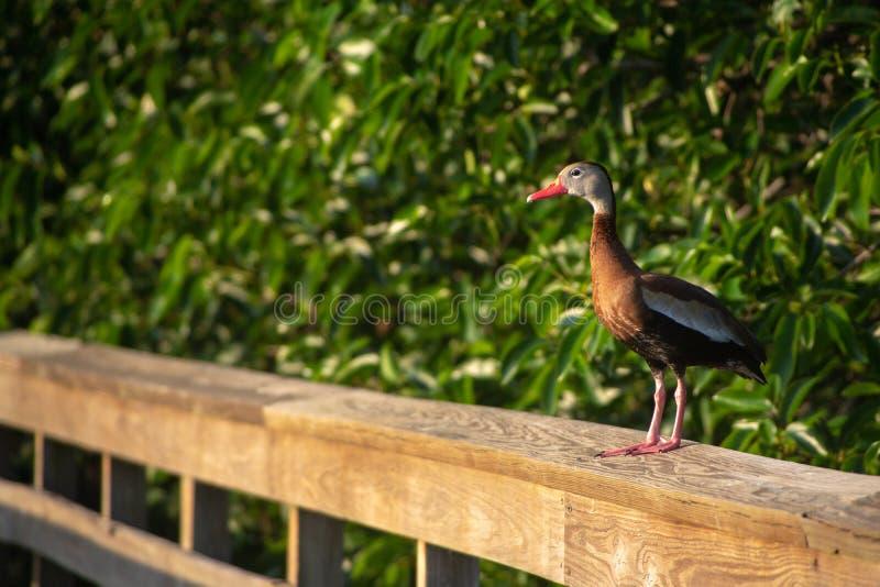黑鼓起的吹哨的鸭子在Wakodahatchee沼泽地在Delray,佛罗里达 库存照片