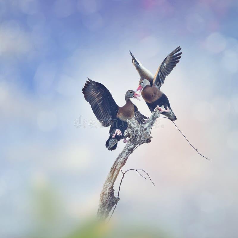 黑鼓起的吹哨的鸭子 库存图片