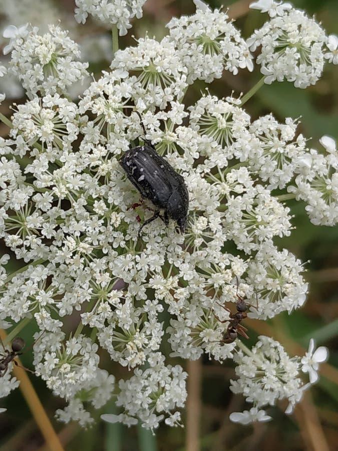 黑/灰色与在白色综合花的白色点金龟子 免版税库存照片